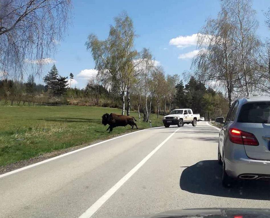 Farma hled dvanct uprchlch bizon, pohybuj se u Starho